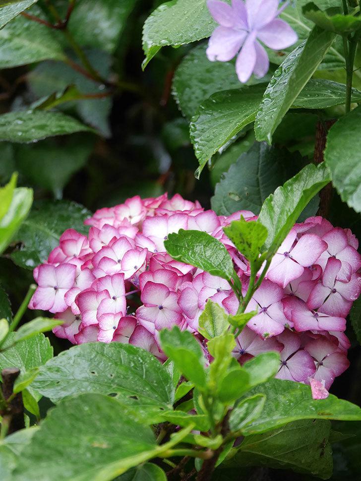 ジャパーニュミカコの花がたくさん咲いた。2021年-035.jpg