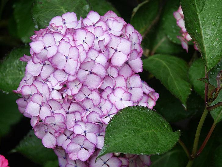 ジャパーニュミカコの花がたくさん咲いた。2021年-037.jpg