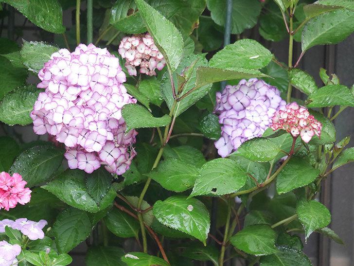 ジャパーニュミカコの花がたくさん咲いた。2021年-039.jpg