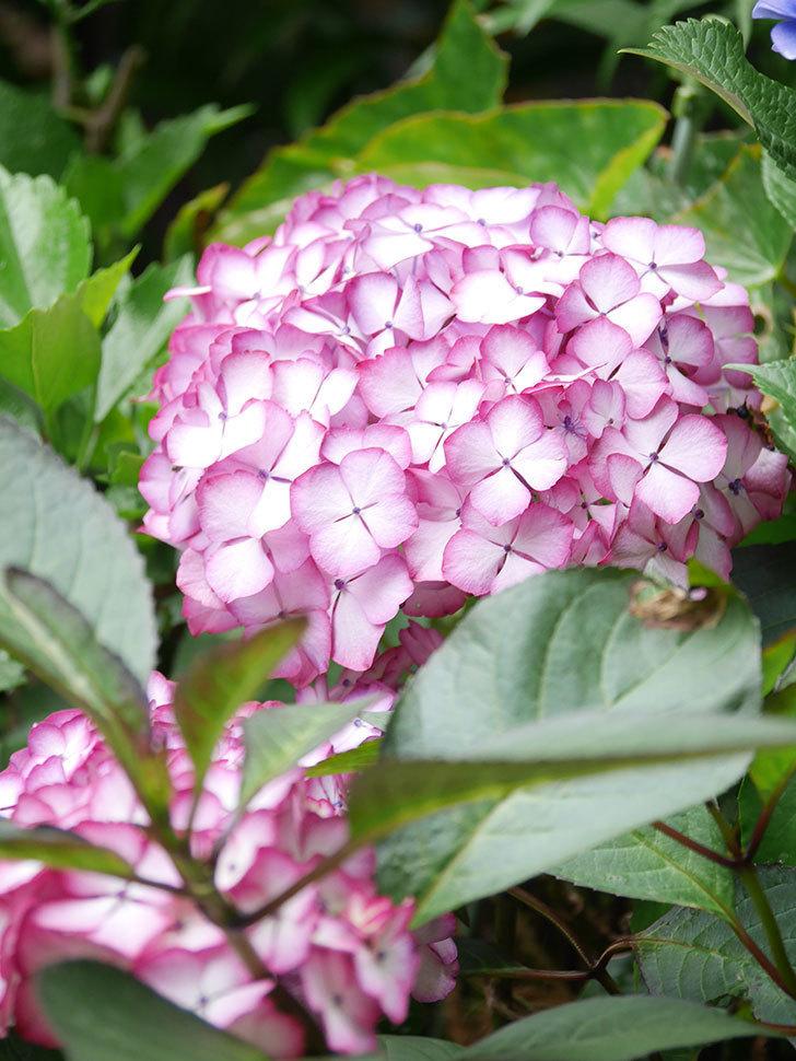 ジャパーニュミカコの花がたくさん咲いた。2021年-041.jpg