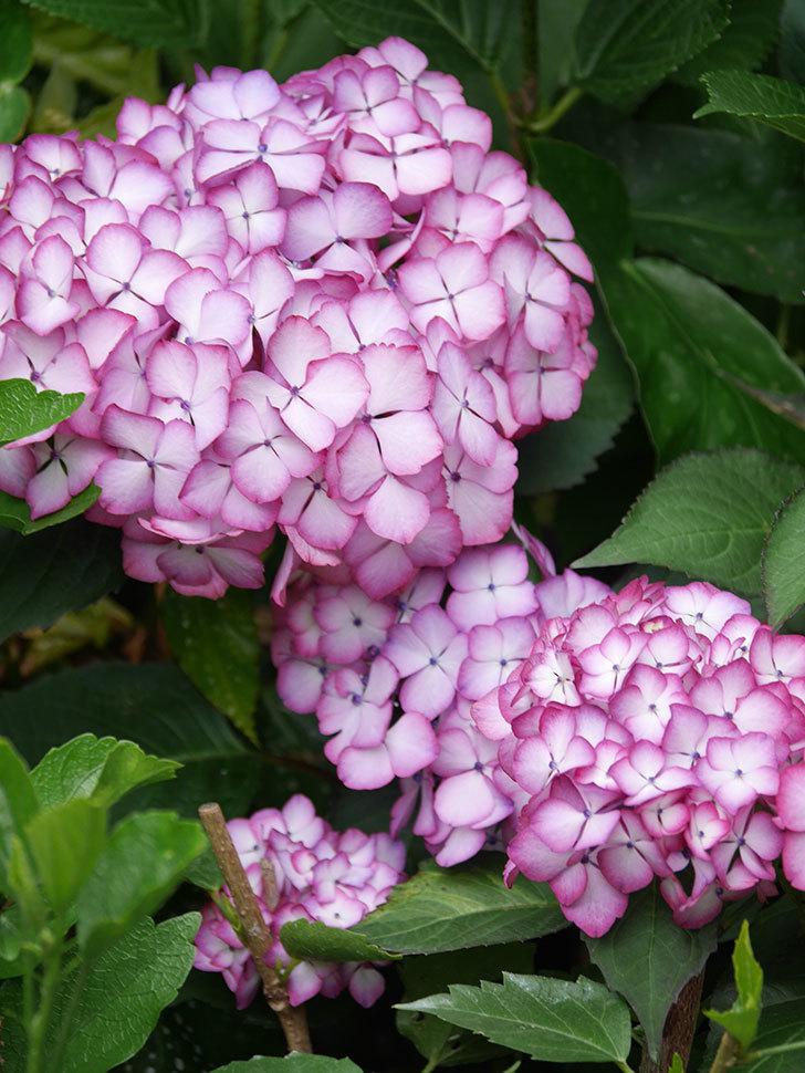 ジャパーニュミカコの花がたくさん咲いた。2021年-042.jpg