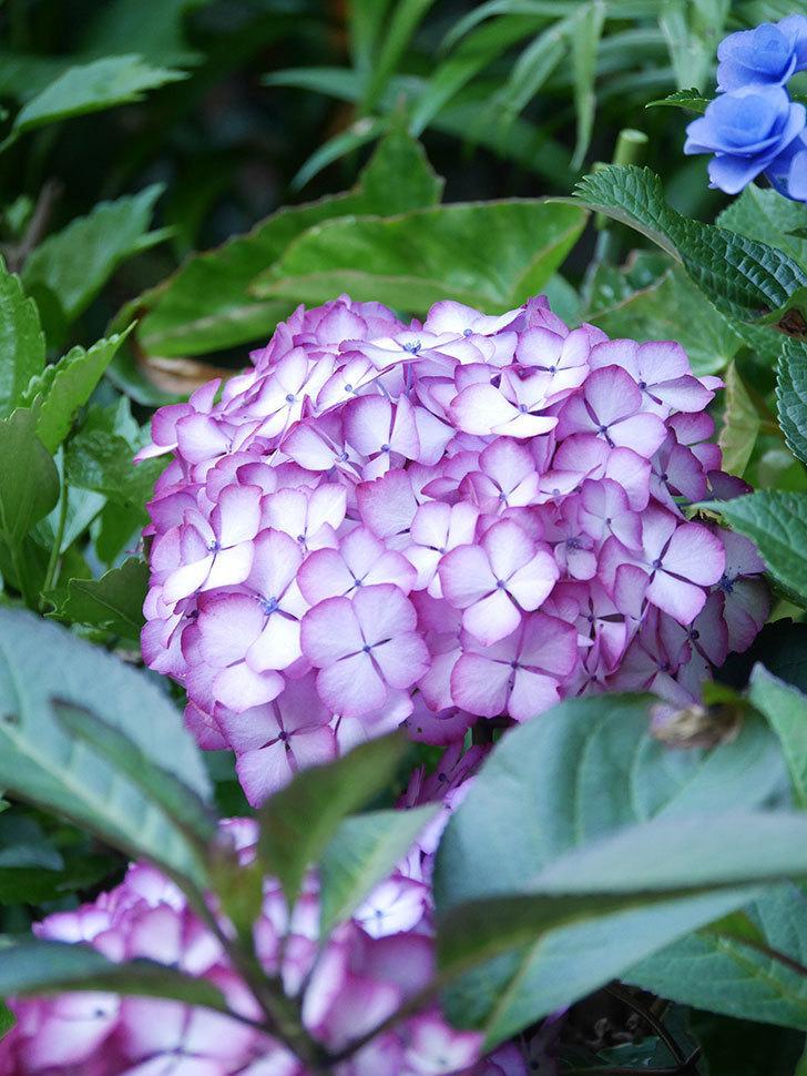 ジャパーニュミカコの花がたくさん咲いた。2021年-044.jpg