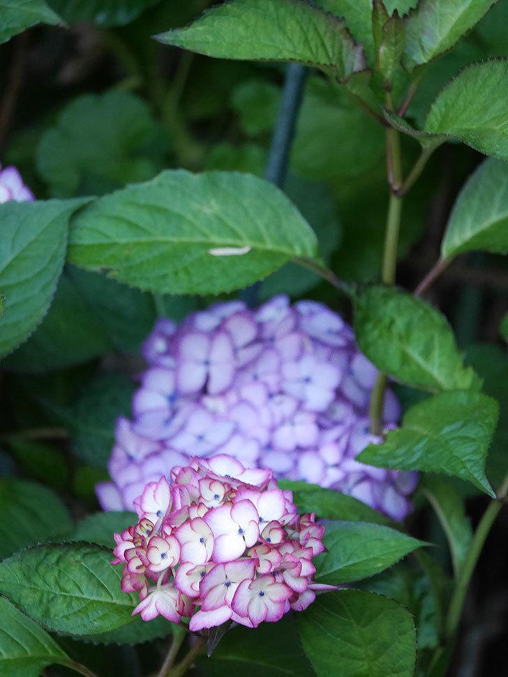 ジャパーニュミカコの花がたくさん咲いた。2021年-046.jpg