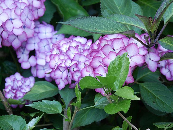 ジャパーニュミカコの花がたくさん咲いた。2021年-047.jpg