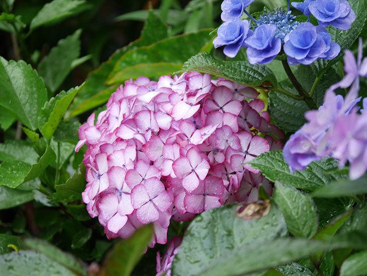 ジャパーニュミカコの花がたくさん咲いた。2021年-049.jpg
