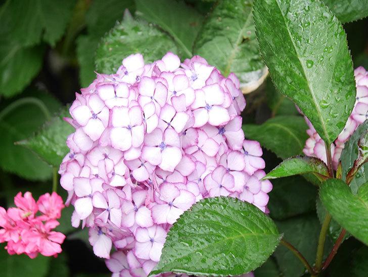 ジャパーニュミカコの花がたくさん咲いた。2021年-053.jpg