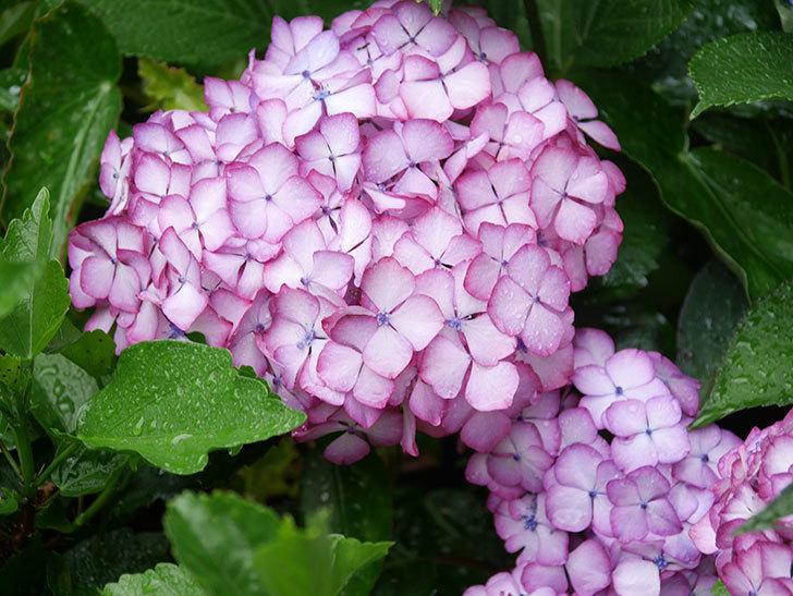 ジャパーニュミカコの花がたくさん咲いた。2021年-054.jpg