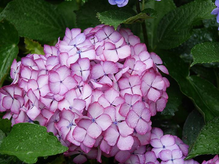 ジャパーニュミカコの花がたくさん咲いた。2021年-055.jpg