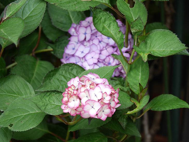 ジャパーニュミカコの花がたくさん咲いた。2021年-057.jpg