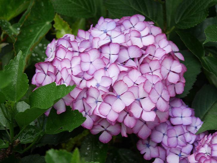 ジャパーニュミカコの花がたくさん咲いた。2021年-058.jpg