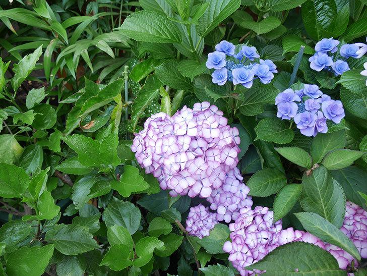 ジャパーニュミカコの花がたくさん咲いた。2021年-060.jpg