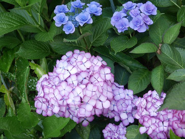 ジャパーニュミカコの花がたくさん咲いた。2021年-063.jpg