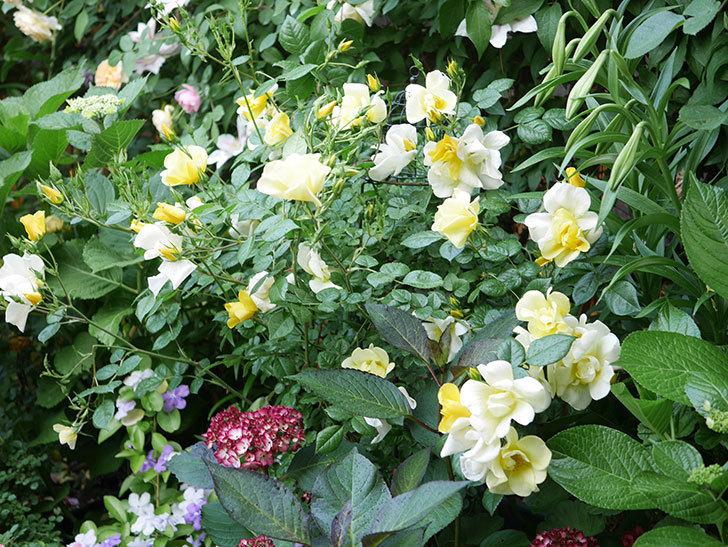 ジャパーニュミカコの花が咲きだした。2021年-001.jpg