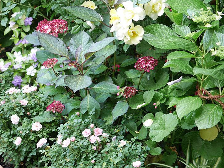 ジャパーニュミカコの花が咲きだした。2021年-002.jpg