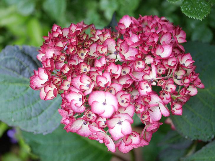 ジャパーニュミカコの花が咲きだした。2021年-004.jpg
