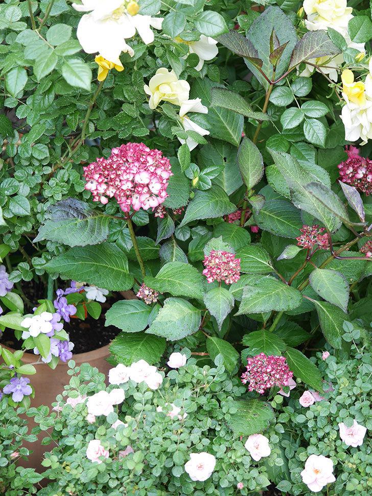 ジャパーニュミカコの花が咲きだした。2021年-006.jpg