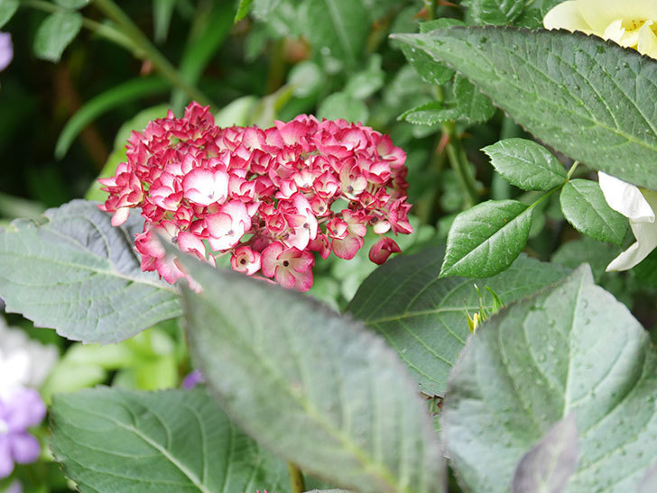 ジャパーニュミカコの花が咲きだした。2021年-008.jpg