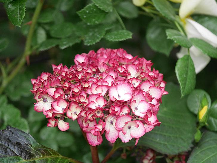 ジャパーニュミカコの花が咲きだした。2021年-010.jpg