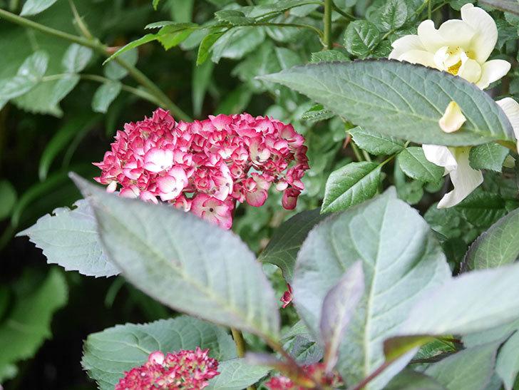 ジャパーニュミカコの花が咲きだした。2021年-011.jpg