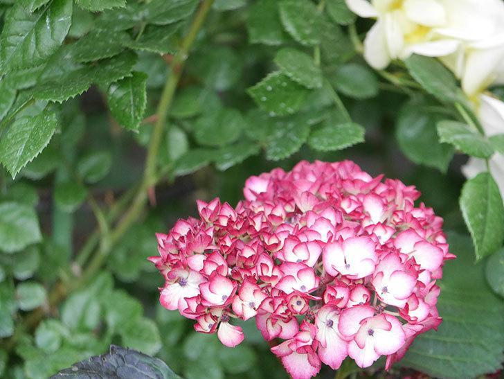 ジャパーニュミカコの花が咲きだした。2021年-012.jpg
