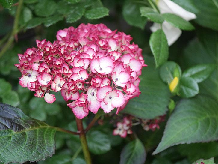 ジャパーニュミカコの花が咲きだした。2021年-013.jpg