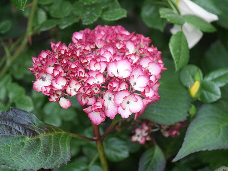 ジャパーニュミカコの花が咲きだした。2021年-014.jpg