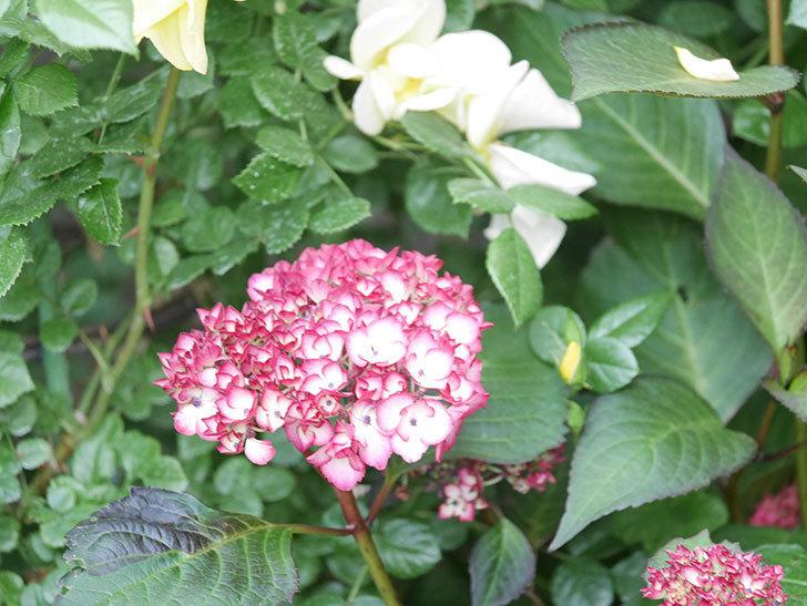 ジャパーニュミカコの花が咲きだした。2021年-015.jpg