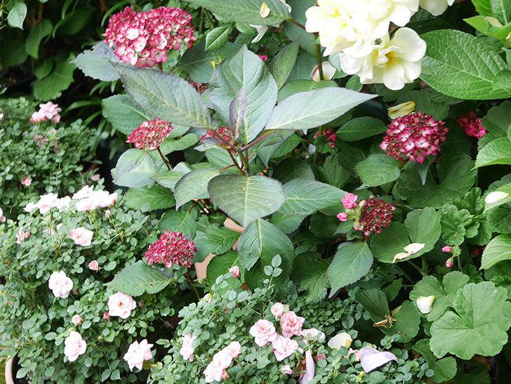 ジャパーニュミカコの花が咲きだした。2021年-018.jpg