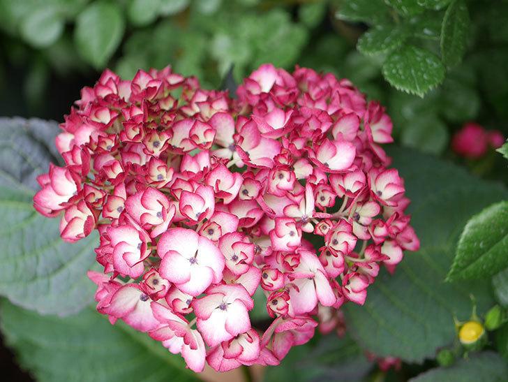 ジャパーニュミカコの花が咲きだした。2021年-019.jpg