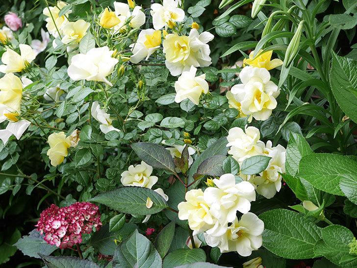 ジャパーニュミカコの花が咲きだした。2021年-022.jpg