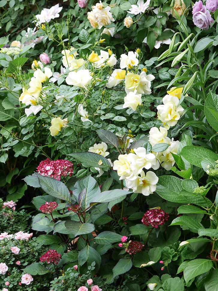 ジャパーニュミカコの花が咲きだした。2021年-023.jpg
