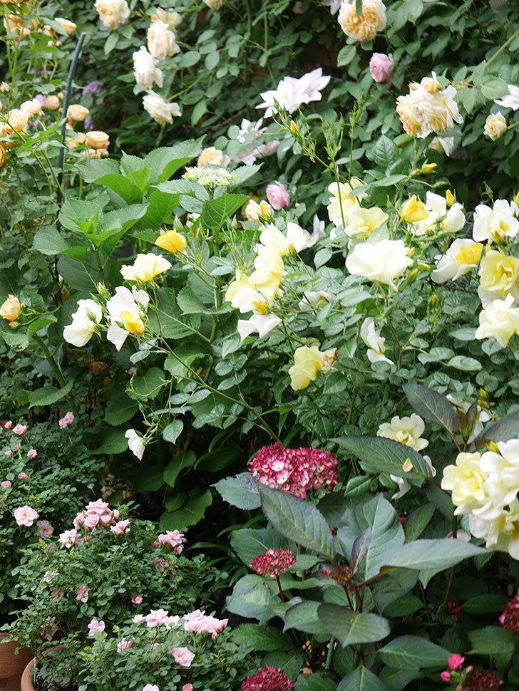 ジャパーニュミカコの花が咲きだした。2021年-024.jpg