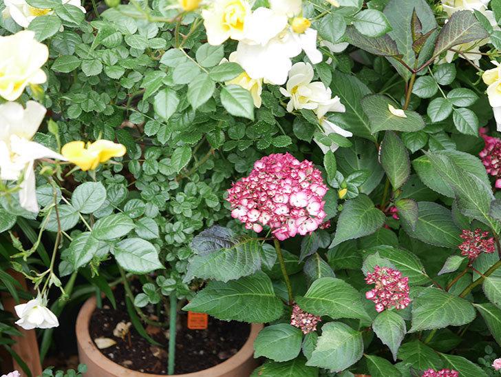 ジャパーニュミカコの花が咲きだした。2021年-025.jpg
