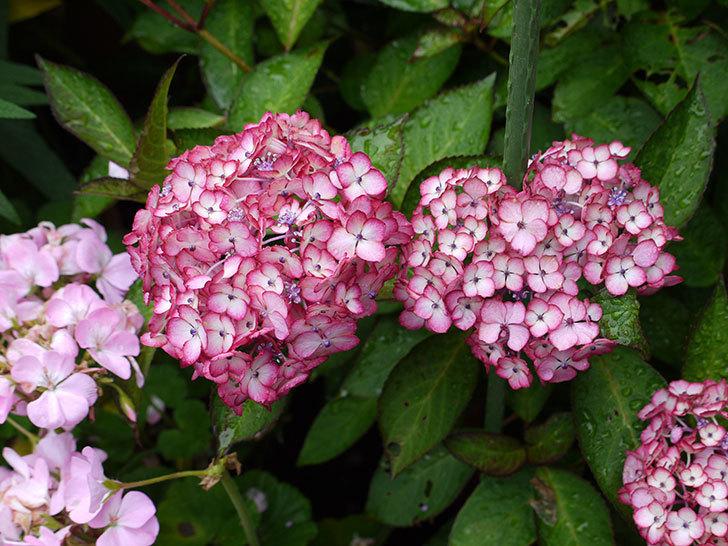 ジャパーニュミカコ(アジサイ)が咲いた。2016年-1.jpg
