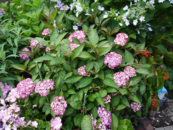 ジャパーニュミカコ(アジサイ)が咲いた。2016年-2.jpg