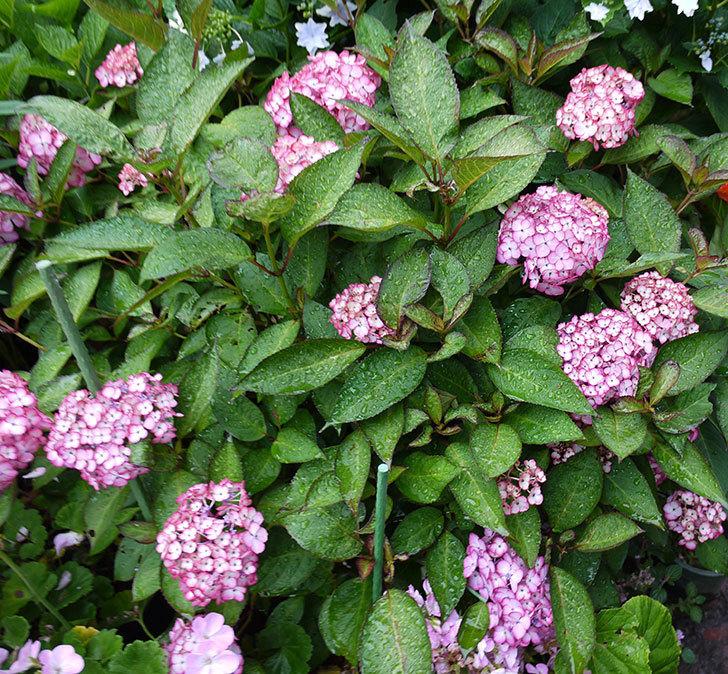 ジャパーニュミカコ(アジサイ)が咲いた。2016年-5.jpg