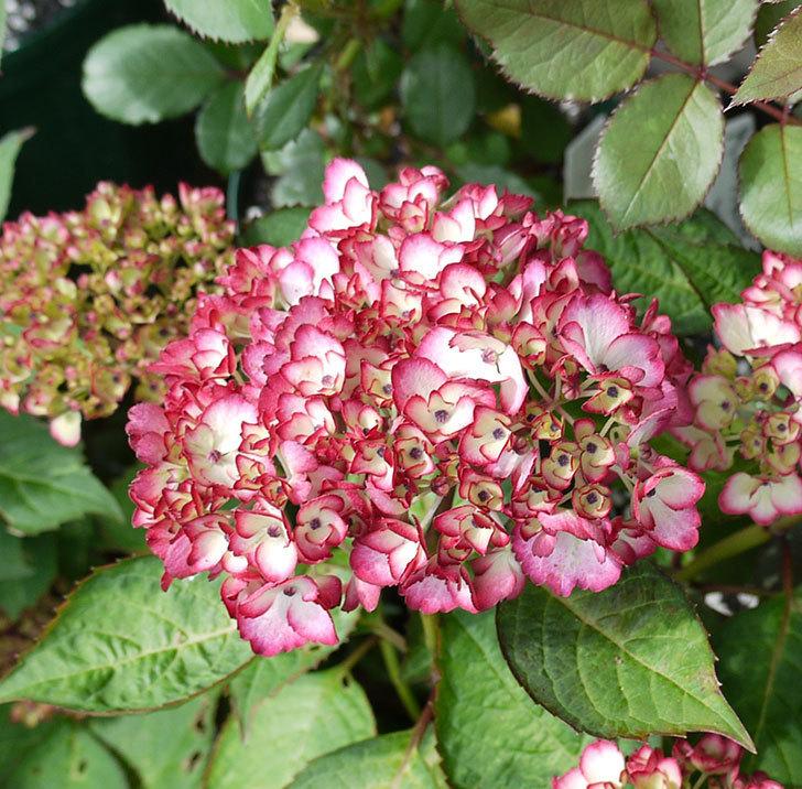 ジャパーニュミカコ(アジサイ)が咲きだした。2017年-2.jpg