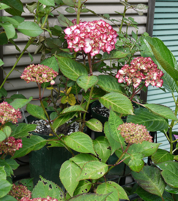 ジャパーニュミカコ(アジサイ)が咲きだした。2017年-3.jpg