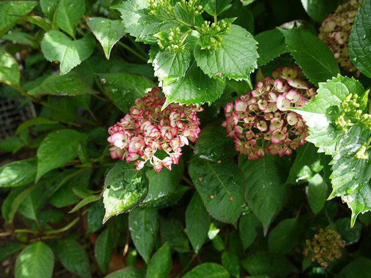 ジャパーニュミカコ(アジサイ)が咲きだした。2017年-4.jpg