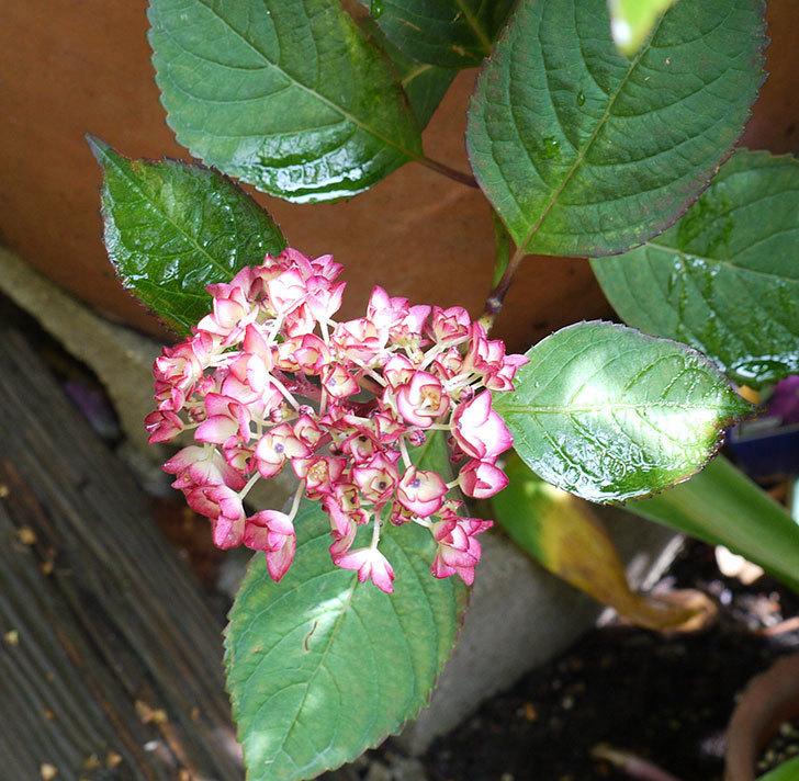 ジャパーニュミカコ(アジサイ)が咲きだした。2017年-7.jpg