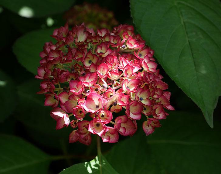 ジャパーニュミカコ(アジサイ)が少し咲いた。2018年-1.jpg