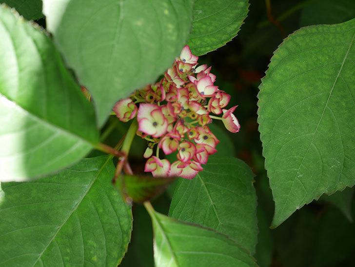 ジャパーニュミカコ(アジサイ)が少し咲いた。2018年-3.jpg