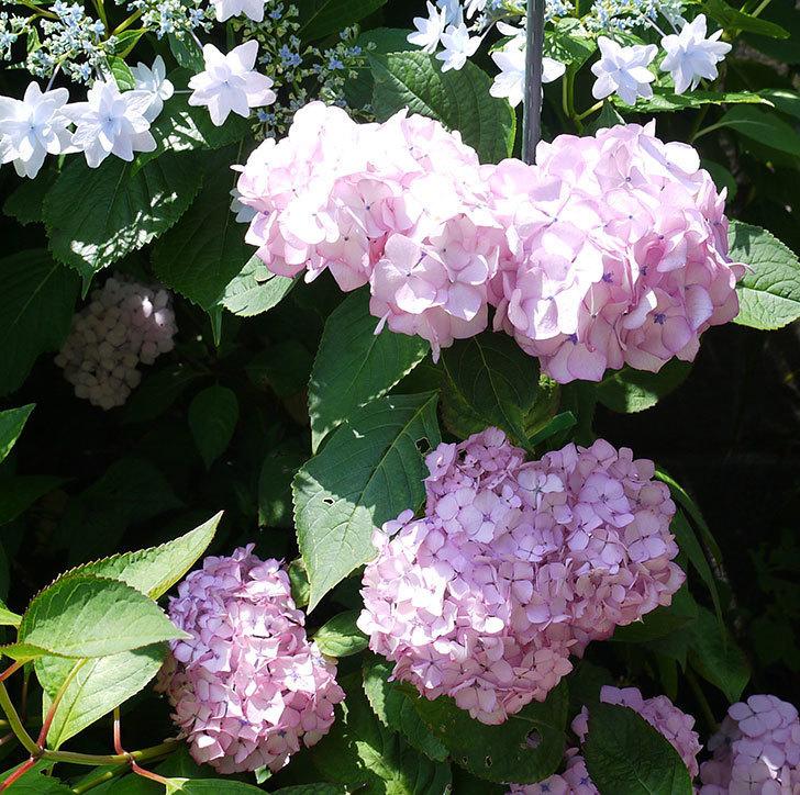 ジャパーニュミカコ(アジサイ)が綺麗に咲いた。2017年-1.jpg