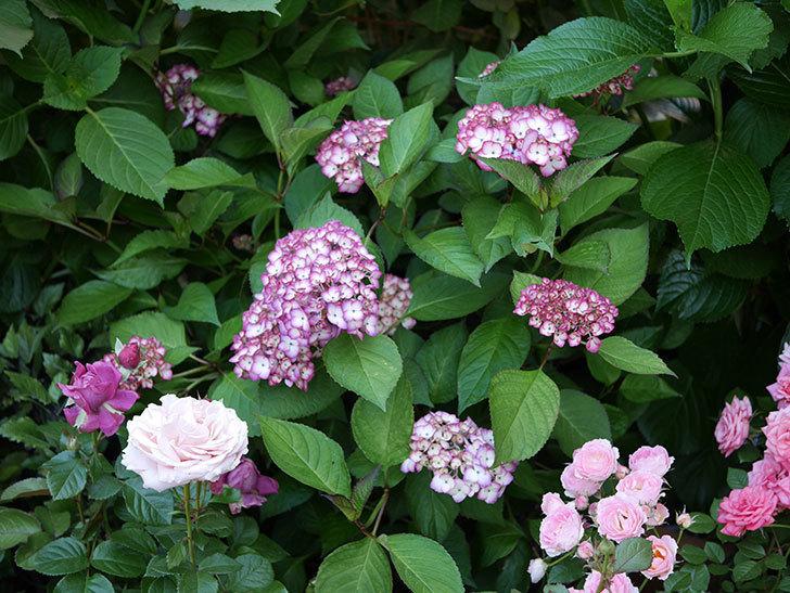ジャパーニュミカコ(アジサイ)の花が増えて来た。2018年-1.jpg
