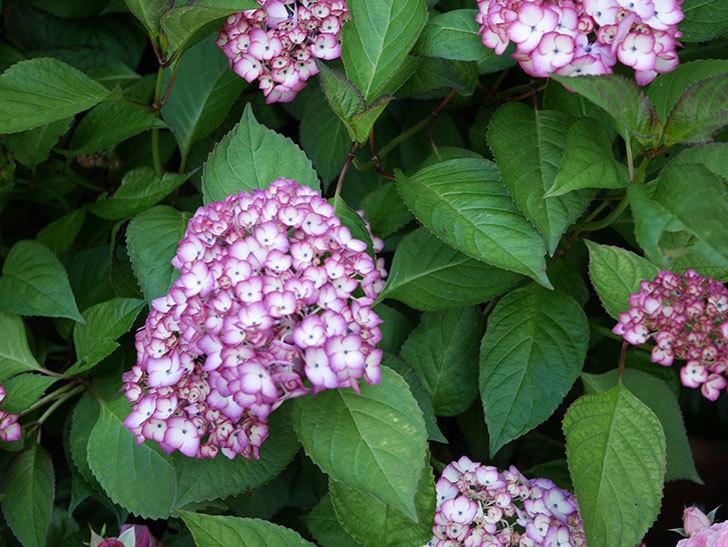 ジャパーニュミカコ(アジサイ)の花が増えて来た。2018年-4.jpg