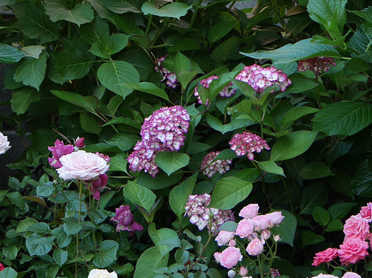 ジャパーニュミカコ(アジサイ)の花が増えて来た。2018年-5.jpg