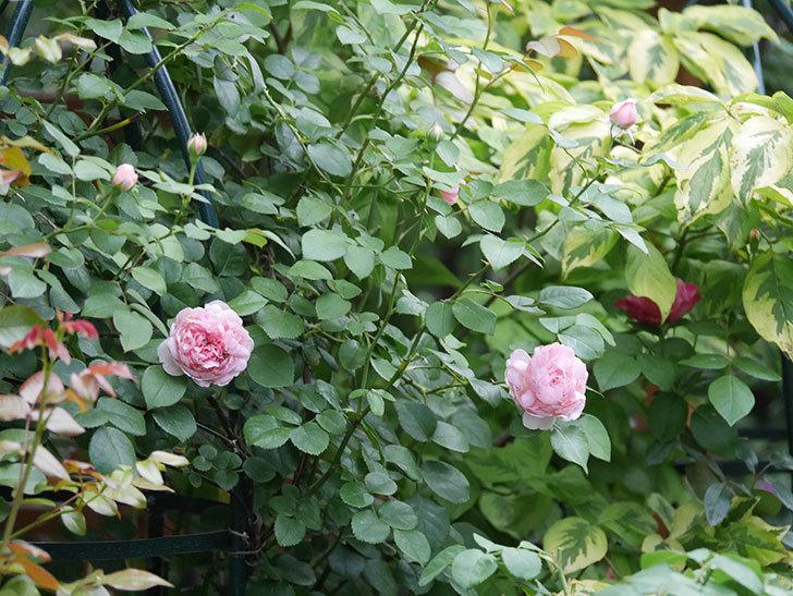 ジュビレ・アンペリアル(Jubile Imperial)の2番花がまた咲いた。半ツルバラ。2020年-001.jpg