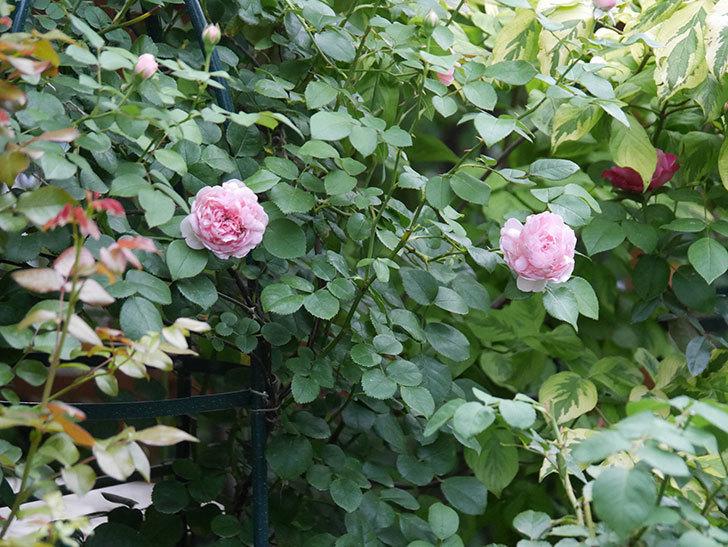 ジュビレ・アンペリアル(Jubile Imperial)の2番花がまた咲いた。半ツルバラ。2020年-002.jpg