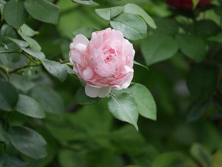 ジュビレ・アンペリアル(Jubile Imperial)の2番花がまた咲いた。半ツルバラ。2020年-003.jpg