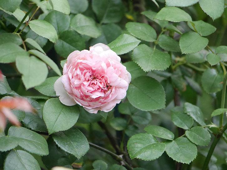 ジュビレ・アンペリアル(Jubile Imperial)の2番花がまた咲いた。半ツルバラ。2020年-004.jpg